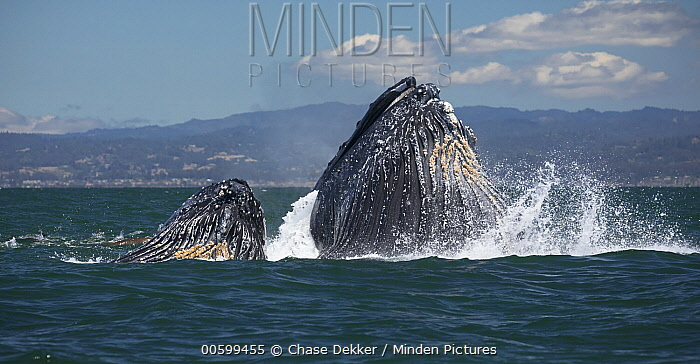 Humpback Whale (Megaptera novaeangliae) pair gulp feeding on Northern Anchovy (Engraulis mordax), Monterey Bay, California