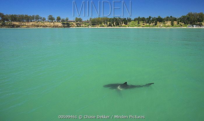 Great White Shark (Carcharodon carcharias) sub-adult near coast, Monterey Bay, California