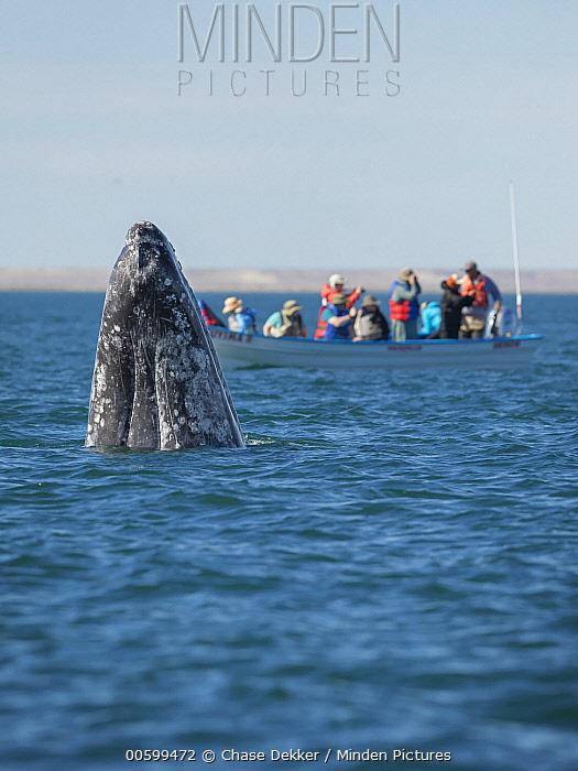 Gray Whale (Eschrichtius robustus) spyhopping near whale watching boat, San Ignacio Lagoon, Baja California, Mexico