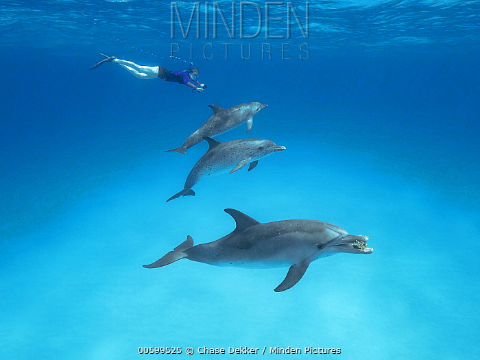 Atlantic Spotted Dolphin (Stenella frontalis) pod with snorkeler, Bahamas, Caribbean