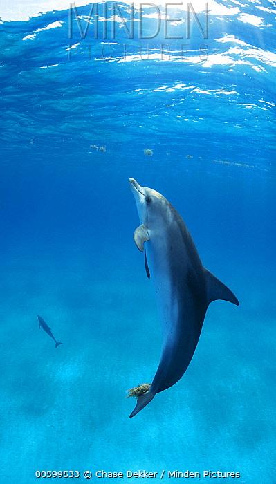 Atlantic Spotted Dolphin (Stenella frontalis) pair, Bahamas, Caribbean