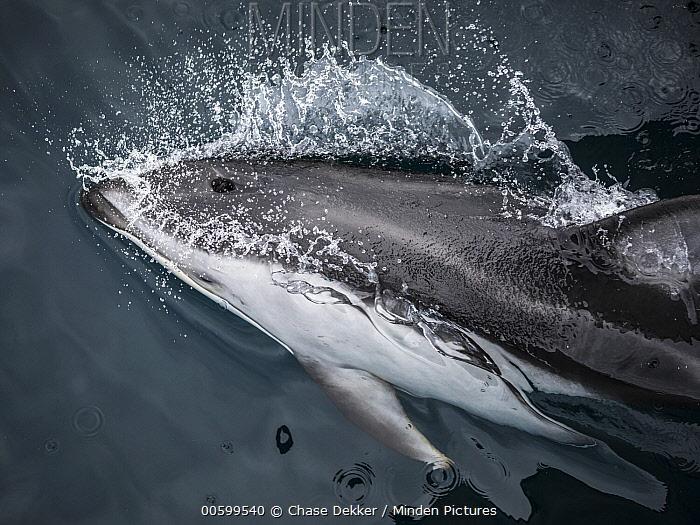 Pacific White-sided Dolphin (Lagenorhynchus obliquidens) porpoising, Monterey Bay, California