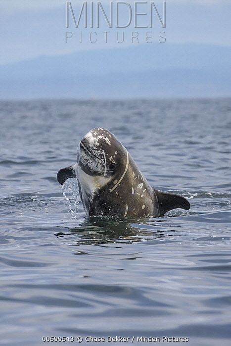 Risso's Dolphin (Grampus griseus) jumping, Monterey Bay, California