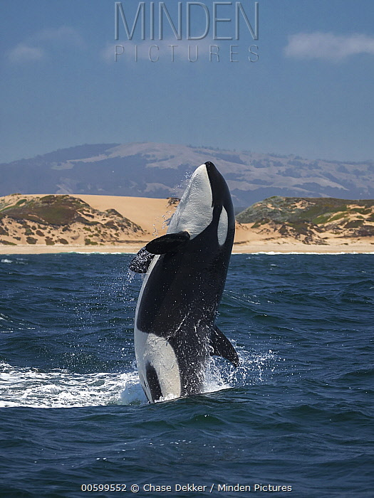 Orca (Orcinus orca) breaching, Monterey Bay, California