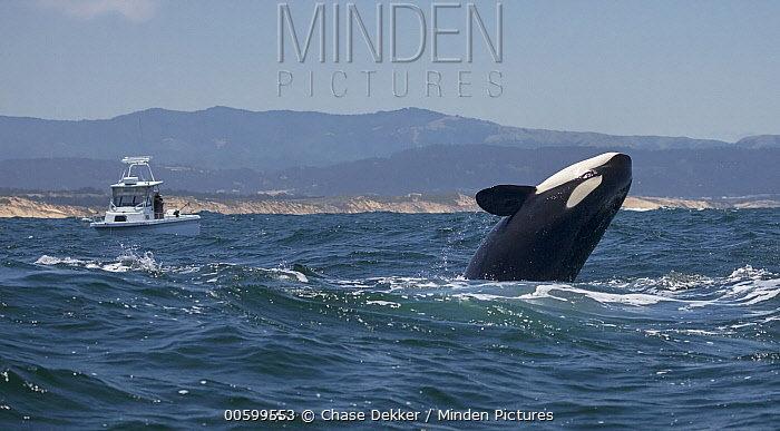 Orca (Orcinus orca) breaching near boat, Monterey Bay, California
