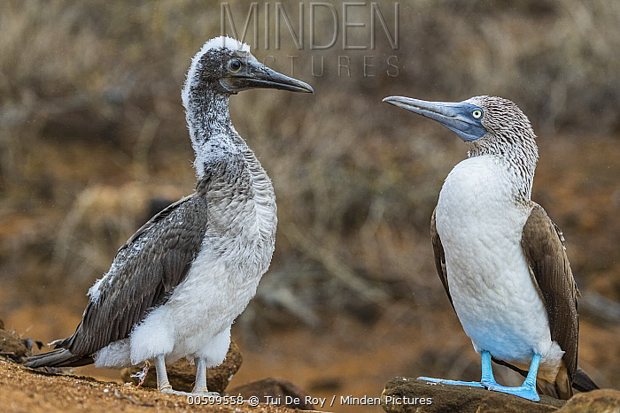 Blue-footed Booby (Sula nebouxii) parent with fledgling, Punta Pitt, San Cristobal Island, Galapagos Islands, Ecuador