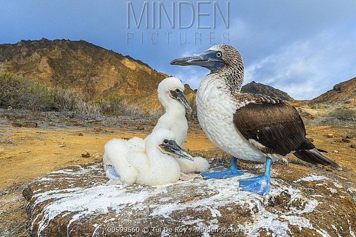 Blue-footed Booby (Sula nebouxii) parent with chicks, Punta Pitt, San Cristobal Island, Galapagos Islands, Ecuador
