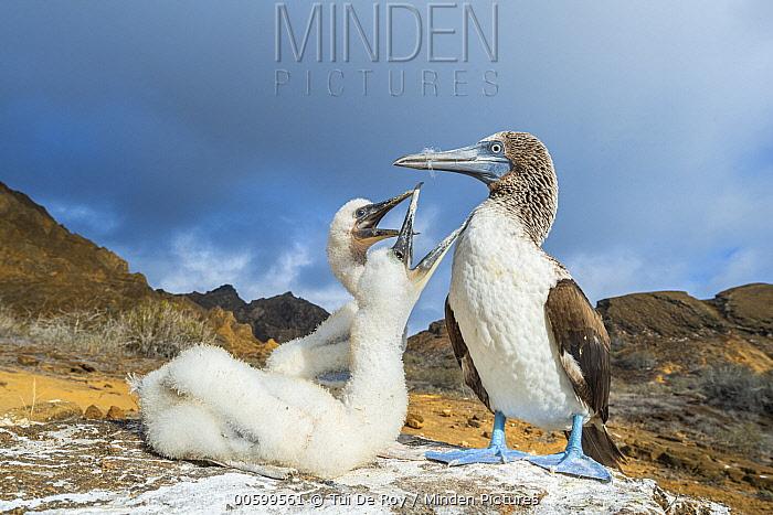 Blue-footed Booby (Sula nebouxii) parent with begging chicks, Punta Pitt, San Cristobal Island, Galapagos Islands, Ecuador