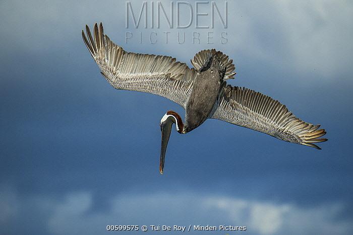 Brown Pelican (Pelecanus occidentalis) diving, Elizabeth Bay, Isabela Island, Galapagos Islands, Ecuador