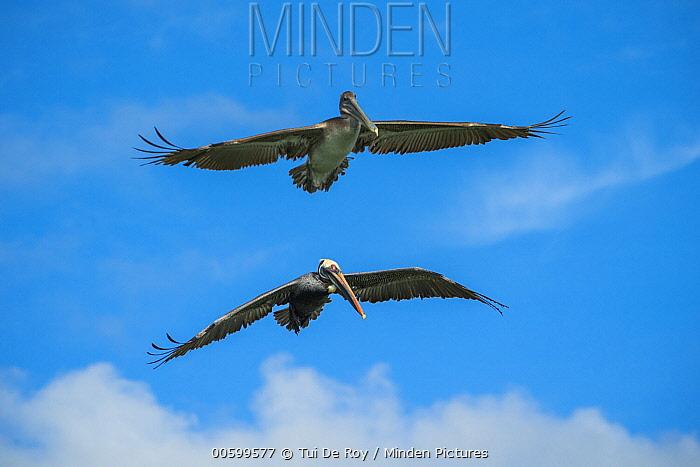 Brown Pelican (Pelecanus occidentalis) pair flying, Elizabeth Bay, Isabela Island, Galapagos Islands, Ecuador
