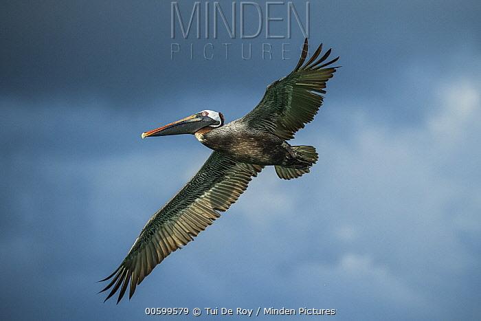 Brown Pelican (Pelecanus occidentalis) flying, Elizabeth Bay, Isabela Island, Galapagos Islands, Ecuador