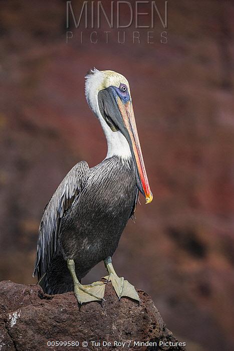 Brown Pelican (Pelecanus occidentalis), Buccaneer Cove, Santiago Island, Galapagos Islands, Ecuador