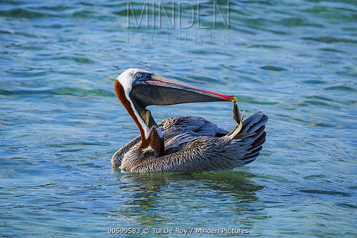 Brown Pelican (Pelecanus occidentalis) preening, Cerro Brujo, San Cristobal Island, Galapagos Islands, Ecuador