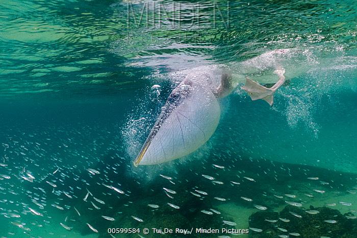 Brown Pelican (Pelecanus occidentalis) fishing, Santiago Island, Galapagos Islands, Ecuador