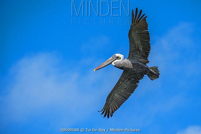 Brown Pelican (Pelecanus occidentalis) flying, Santa Fe Island, Galapagos Islands, Ecuador