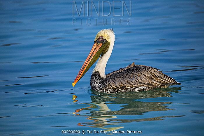 Brown Pelican (Pelecanus occidentalis), Santiago Island, Galapagos Islands, Ecuador