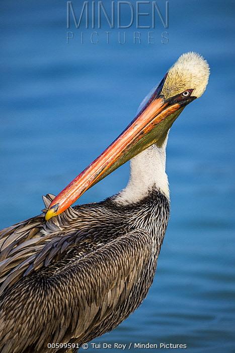 Brown Pelican (Pelecanus occidentalis) preening, Santiago Island, Galapagos Islands, Ecuador