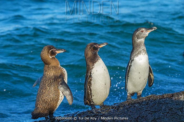 Galapagos Penguin (Spheniscus mendiculus) trio, Punta Moreno, Isabela Island, Galapagos Islands, Ecuador