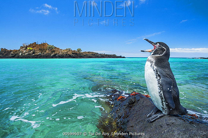 Galapagos Penguin (Spheniscus mendiculus) calling on coast, Santiago Island, Galapagos Islands, Ecuador