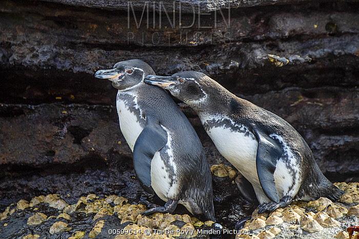 Galapagos Penguin (Spheniscus mendiculus) pair courting, Tagus Cove, Isabela Island, Galapagos Islands, Ecuador