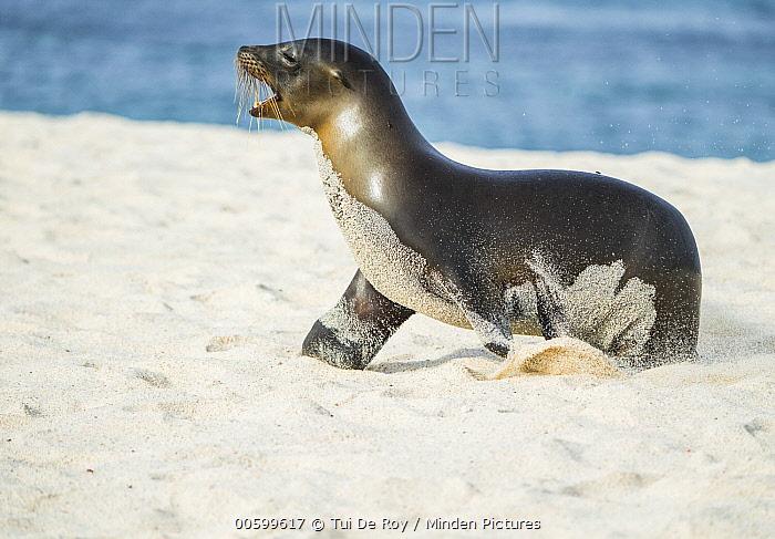Galapagos Sea Lion (Zalophus wollebaeki) calling on beach, Mosquera Island, Galapagos Islands, Ecuador