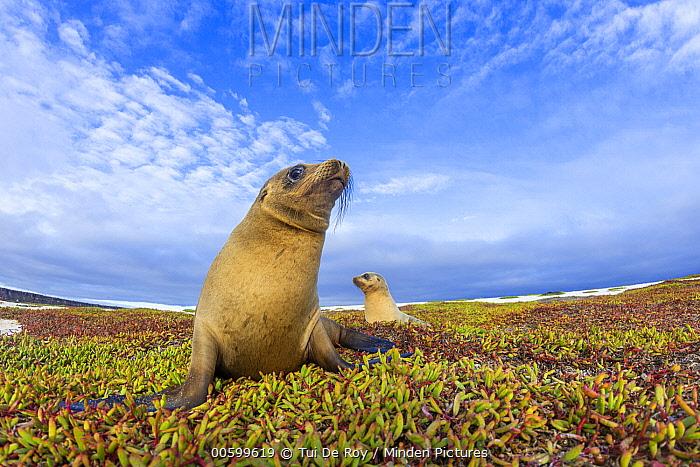 Galapagos Sea Lion (Zalophus wollebaeki) pair, Mosquera Island, Galapagos Islands, Ecuador