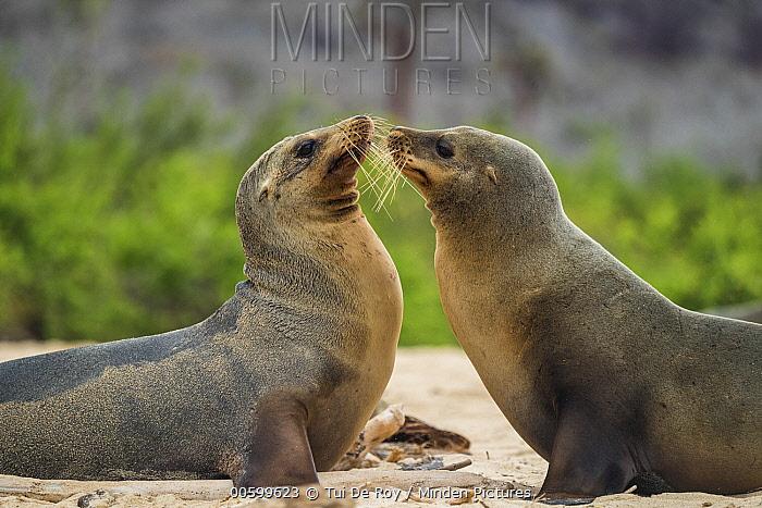 Galapagos Sea Lion (Zalophus wollebaeki) pair greeting, Santa Fe Island, Galapagos Islands, Ecuador