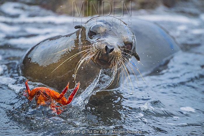 Galapagos Sea Lion (Zalophus wollebaeki) dropping Sally Lightfoot Crab (Grapsus grapsus) prey, Plazas Island, Galapagos Islands, Ecuador