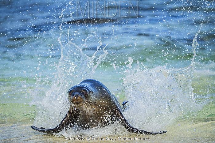 Galapagos Sea Lion (Zalophus wollebaeki) coming ashore, Mosquera Island, Galapagos Islands, Ecuador