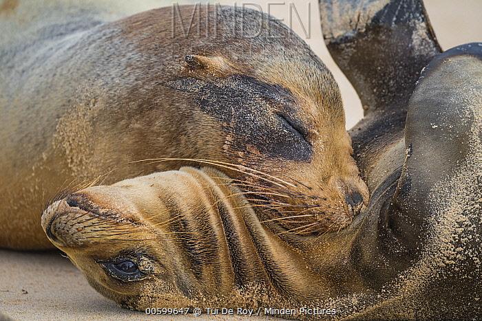 Galapagos Sea Lion (Zalophus wollebaeki) mother nuzzling pup, Santa Fe Island, Galapagos Islands, Ecuador