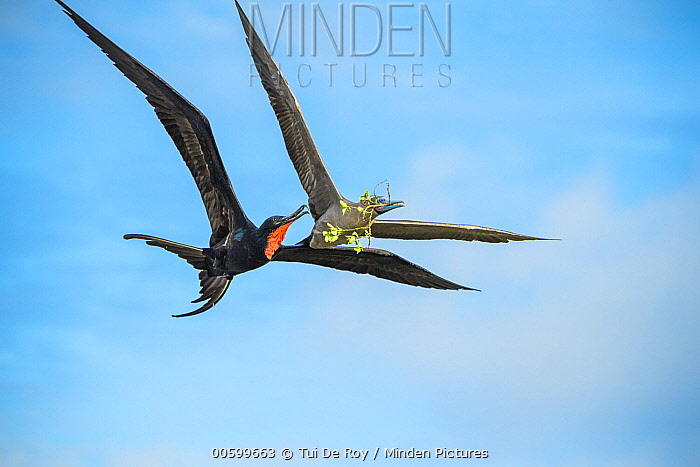 Great Frigatebird (Fregata minor) trying to steal nesting material from Red-footed Booby (Sula sula), Genovesa Island, Galapagos Islands, Ecuador