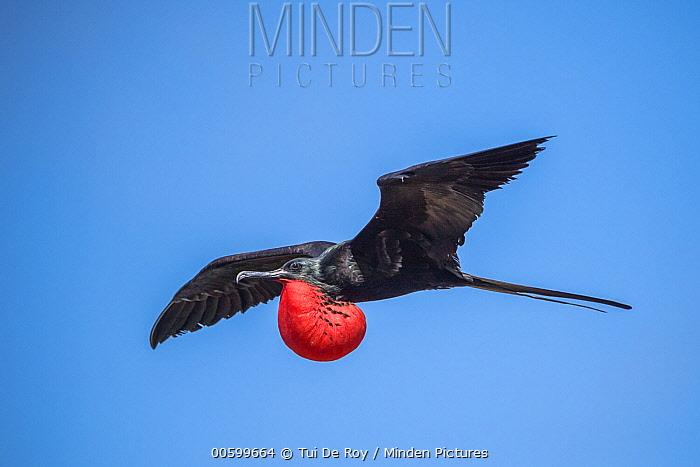 Great Frigatebird (Fregata minor) male flying with gular sac, Genovesa Island, Galapagos Islands, Ecuador