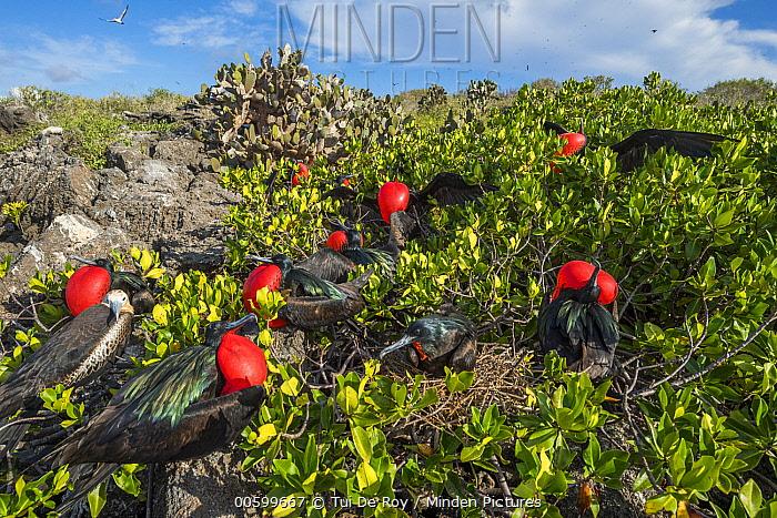 Great Frigatebird (Fregata minor) males displaying, Genovesa Island, Galapagos Islands, Ecuador