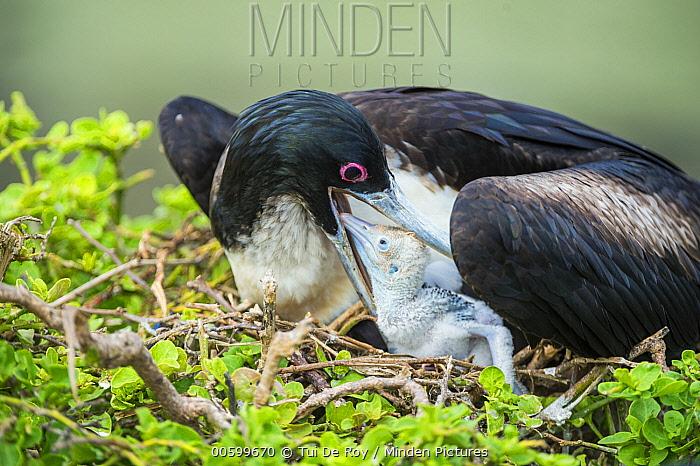 Great Frigatebird (Fregata minor) mother feeding chick, Darwin Bay, Genovesa Island, Galapagos Islands, Ecuador