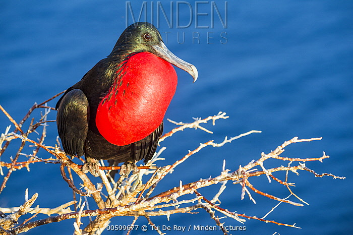 Great Frigatebird (Fregata minor) male displaying gular sac, Gardner Islet, Floreana Island, Galapagos Islands, Ecuador