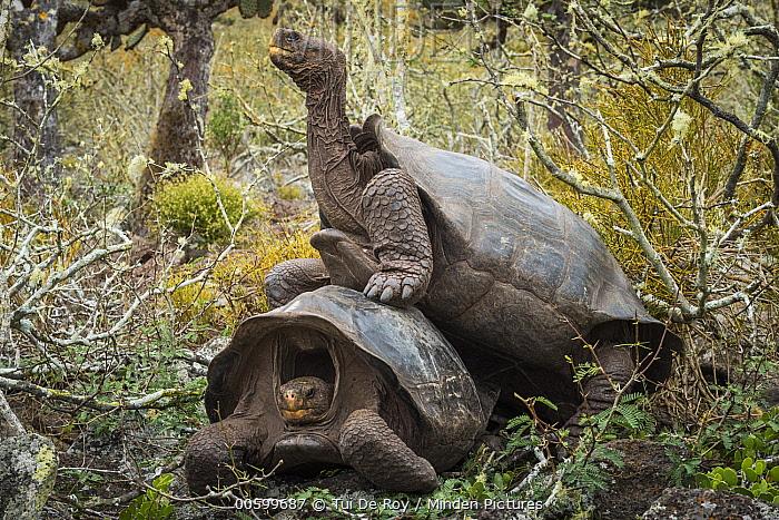 Pinzon Island Tortoise (Chelonoidis nigra ephippium) pair mating, Pinzon Island, Galapagos Islands, Ecuador