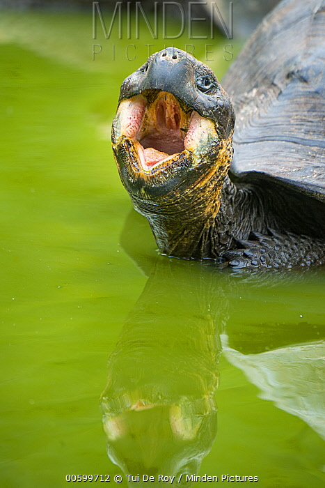 Indefatigable Island Tortoise (Chelonoidis nigra porteri) in defensive posture, Galapagos Islands, Ecuador