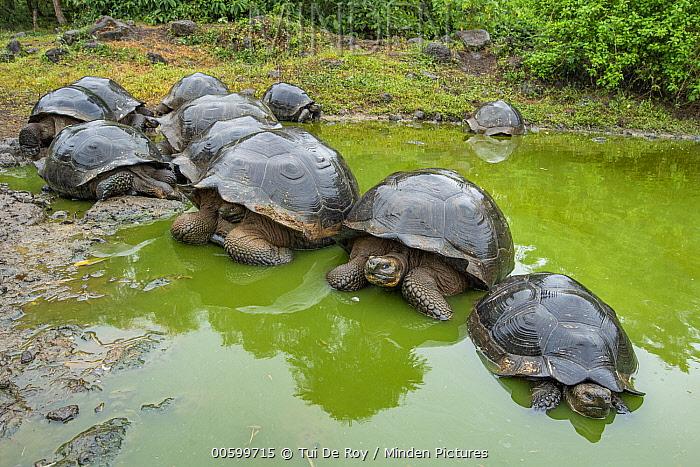 Indefatigable Island Tortoise (Chelonoidis nigra porteri) group wallowing in water, Galapagos Islands, Ecuador