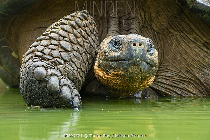 Indefatigable Island Tortoise (Chelonoidis nigra porteri) wallowing, Galapagos Islands, Ecuador