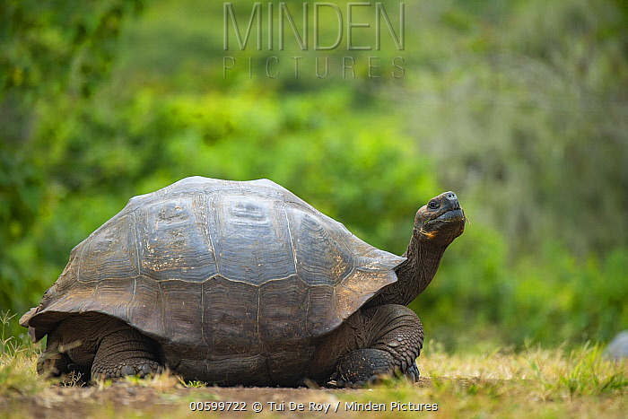 Indefatigable Island Tortoise (Chelonoidis nigra porteri), Galapagos Islands, Ecuador