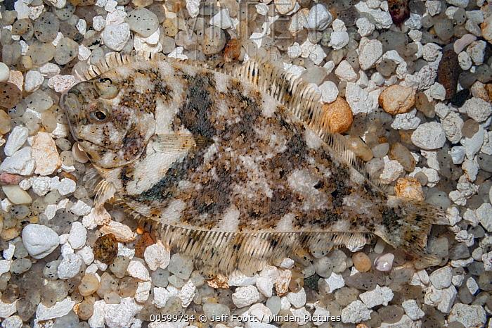 Pacific Sanddab (Citharichthys sp) camouflaged, Monterey Bay Aquarium, California