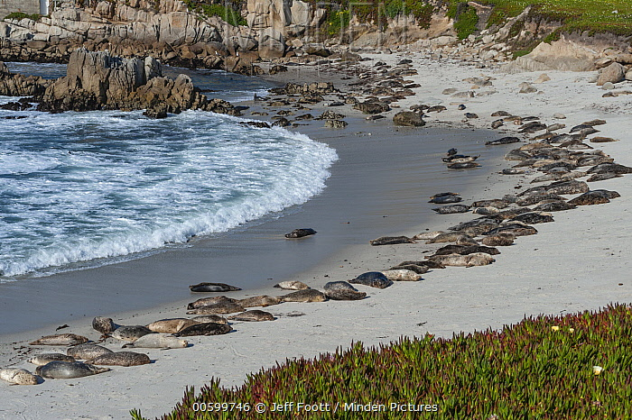 Harbor Seal (Phoca vitulina) group on beach, Monterey Bay, California