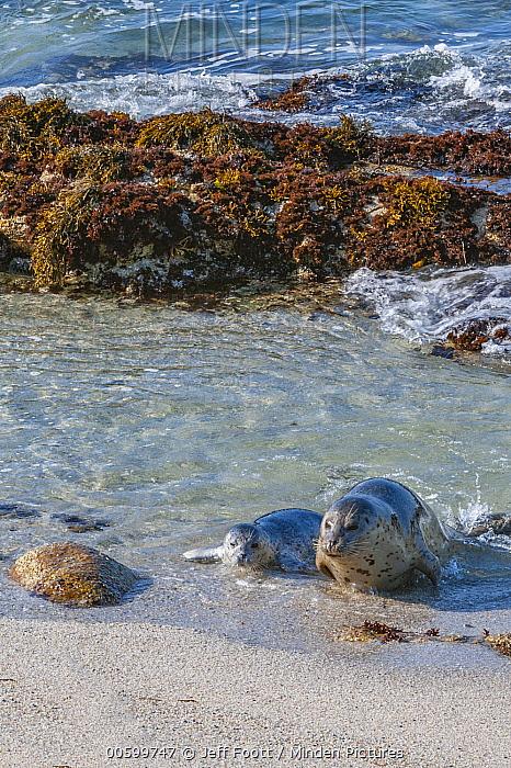 Harbor Seal (Phoca vitulina) mother and pup coming ashore, Monterey Bay, California