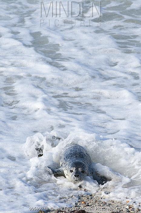Harbor Seal (Phoca vitulina) newborn pup coming ashore, Monterey Bay, California