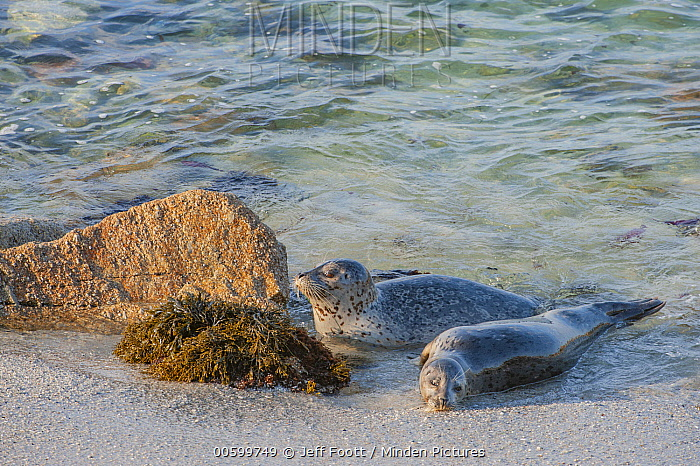 Harbor Seal (Phoca vitulina) mother and pup, Monterey Bay, California