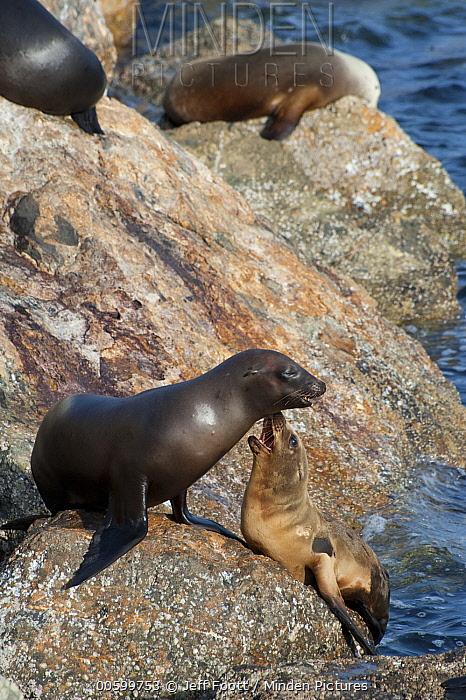 California Sea Lion (Zalophus californianus) mother with pup, Monterey, California