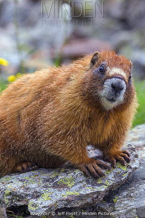 Yellow-bellied Marmot (Marmota flaviventris), Yankee Boy Basin, Colorado