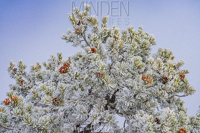 Pinon Pine (Pinus edulis) tree with hoarfrost, Canyonlands National Park, Utah