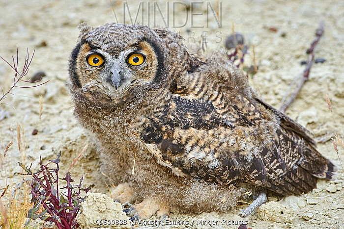 Lesser Horned Owl (Bubo magellanicus) fledgling, Puerto Madryn, Argentina