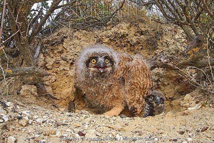 Lesser Horned Owl (Bubo magellanicus) chicks in nest, Puerto Madryn, Argentina